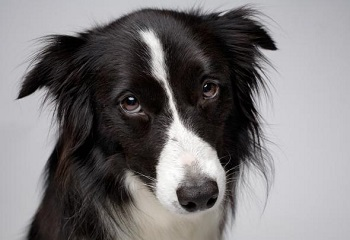 border-collie.adapt.590.1