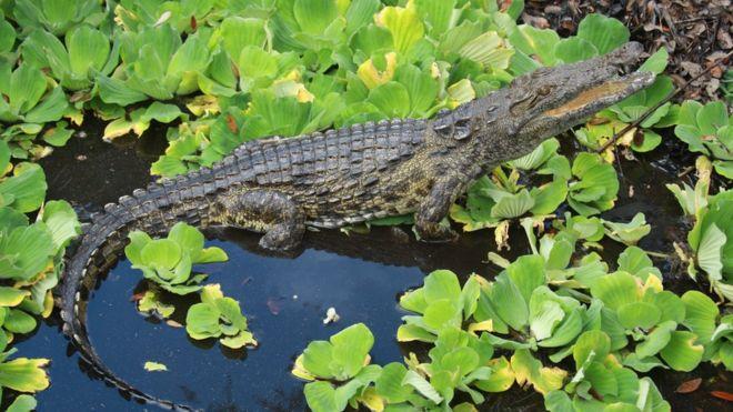 تماسيح فلوريدا