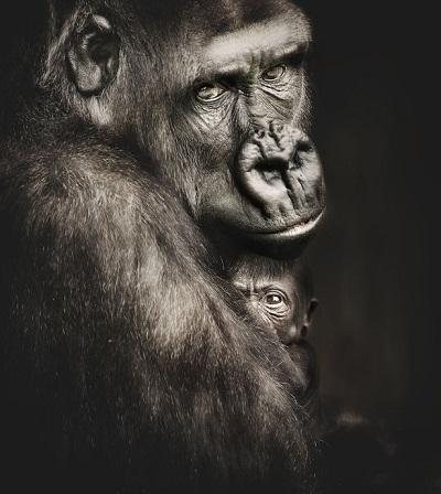 Portrait-of-a-Western-Lowland-Gorilla